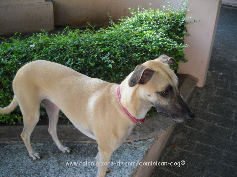 Vigilant Dominican Dog