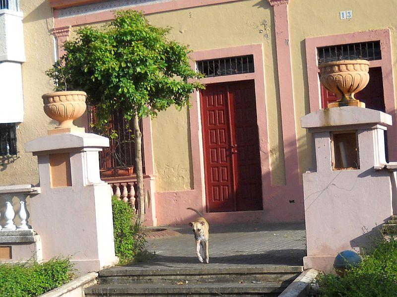 dominican dog teli in the park