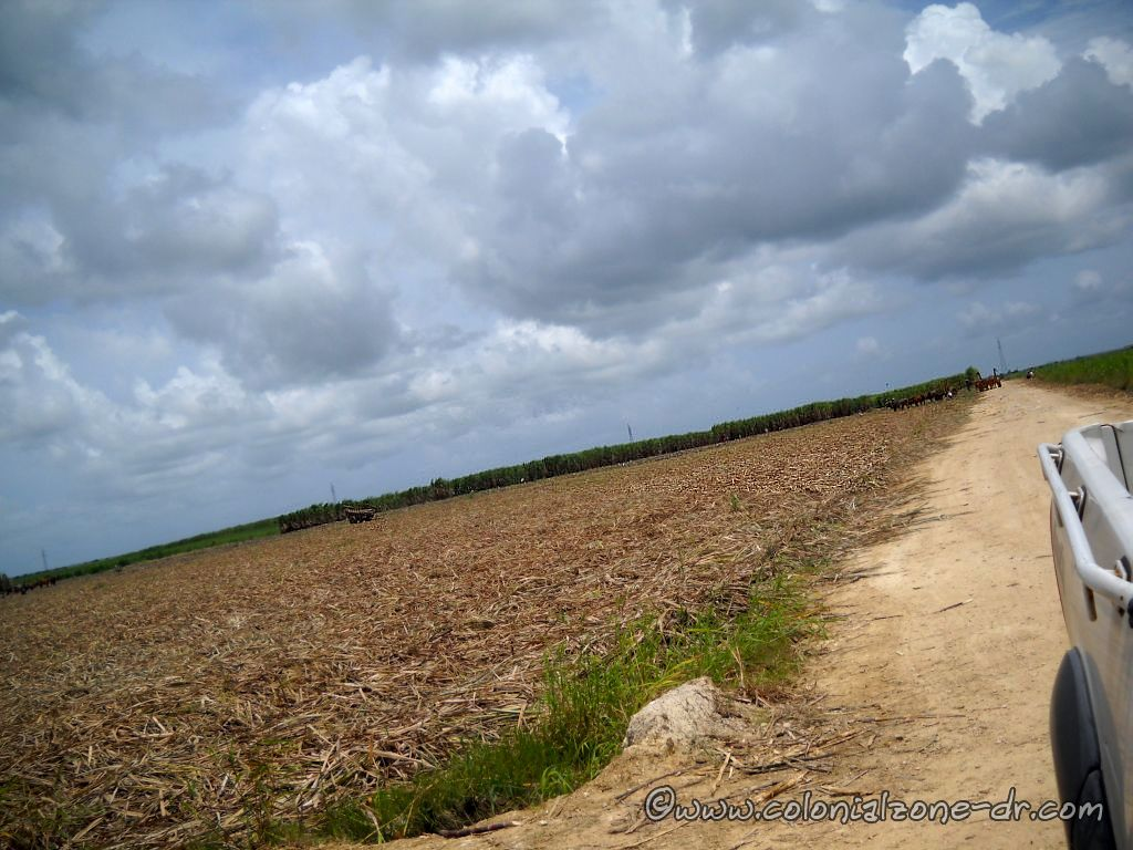 The sugar fields of Dominican Republic with the Buey working hard along side the people.