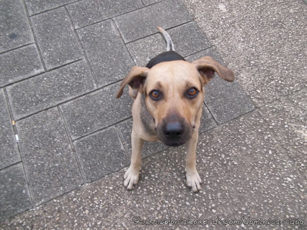 Bruiser - A beautiful street dog of the Zona Colonial