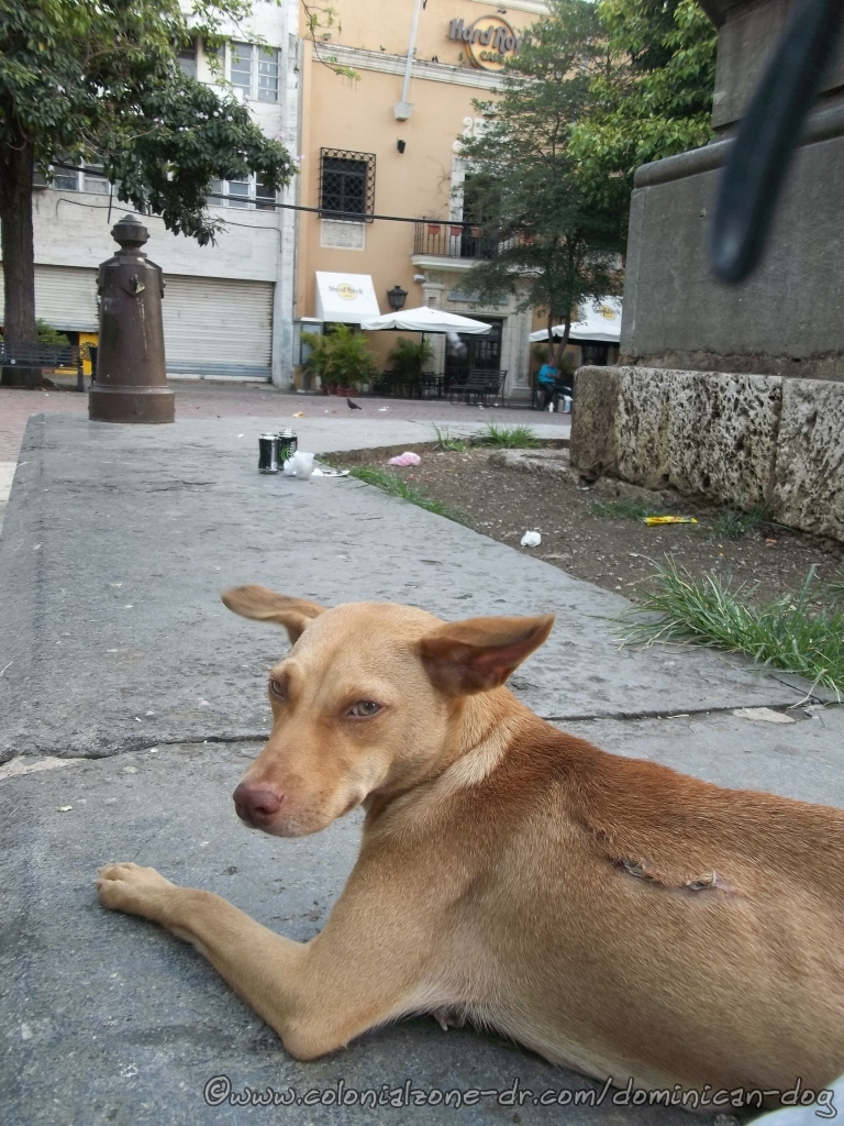 Abeja, a Street Dog, lives in Parque Colon in Zona Colonial.