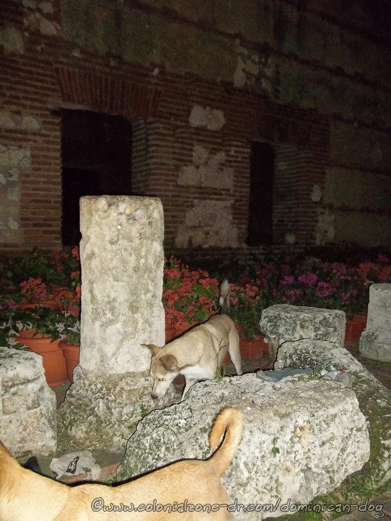 Buenagente tip-toeing through the flowers at the Ruinas Hospital San Nicolas de Bari