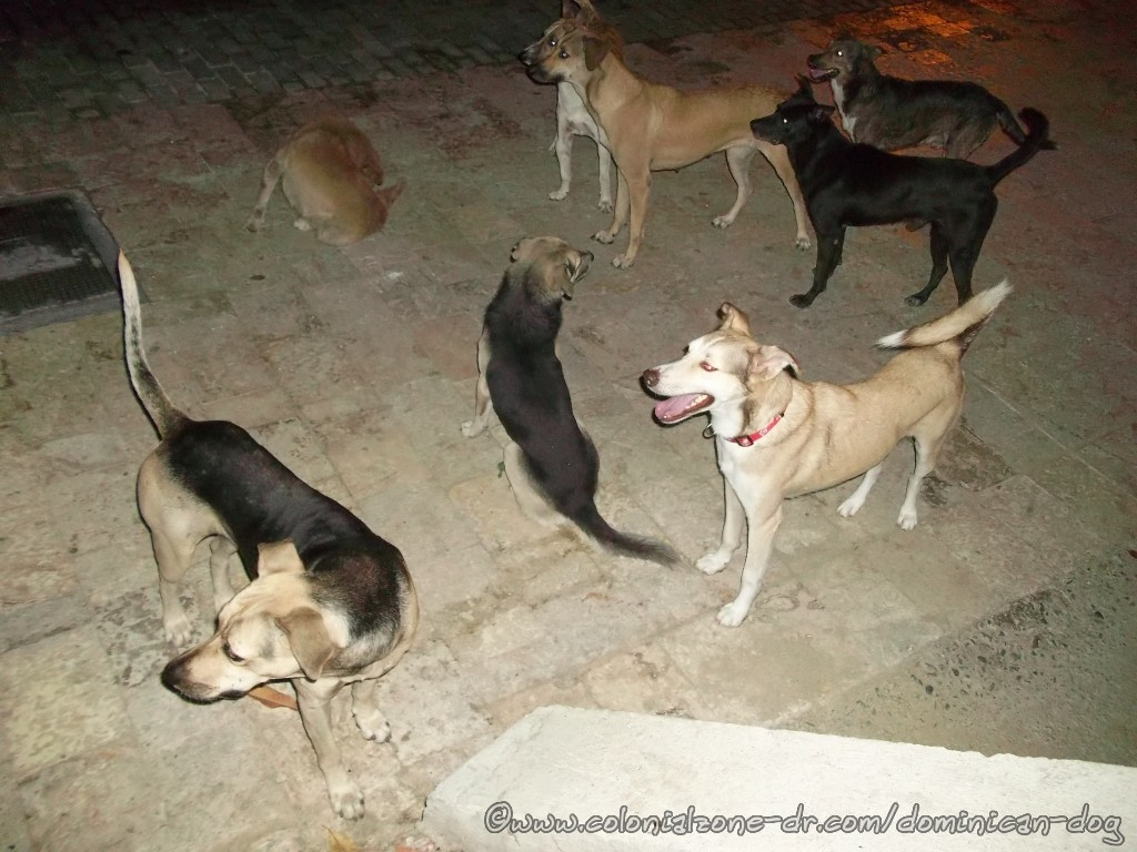 The dogs waiting. Buenagente, Bruiser, Twin, Howler and others. This was the first day of the love frenzy