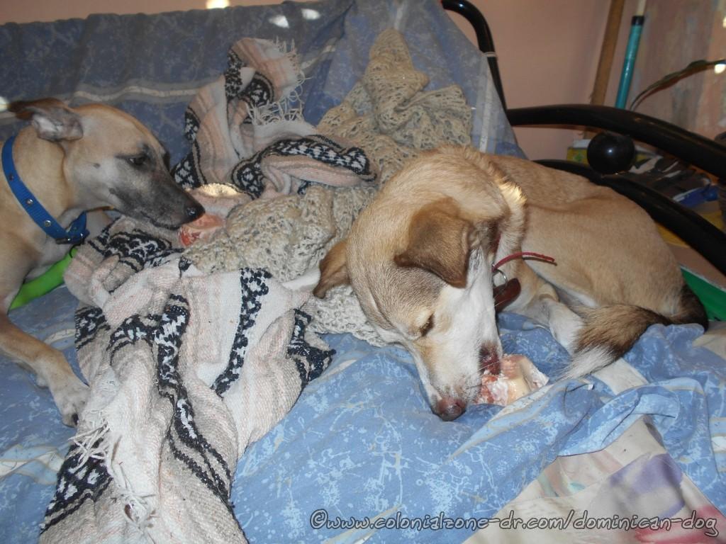 Buena and Teli enjoying their bones