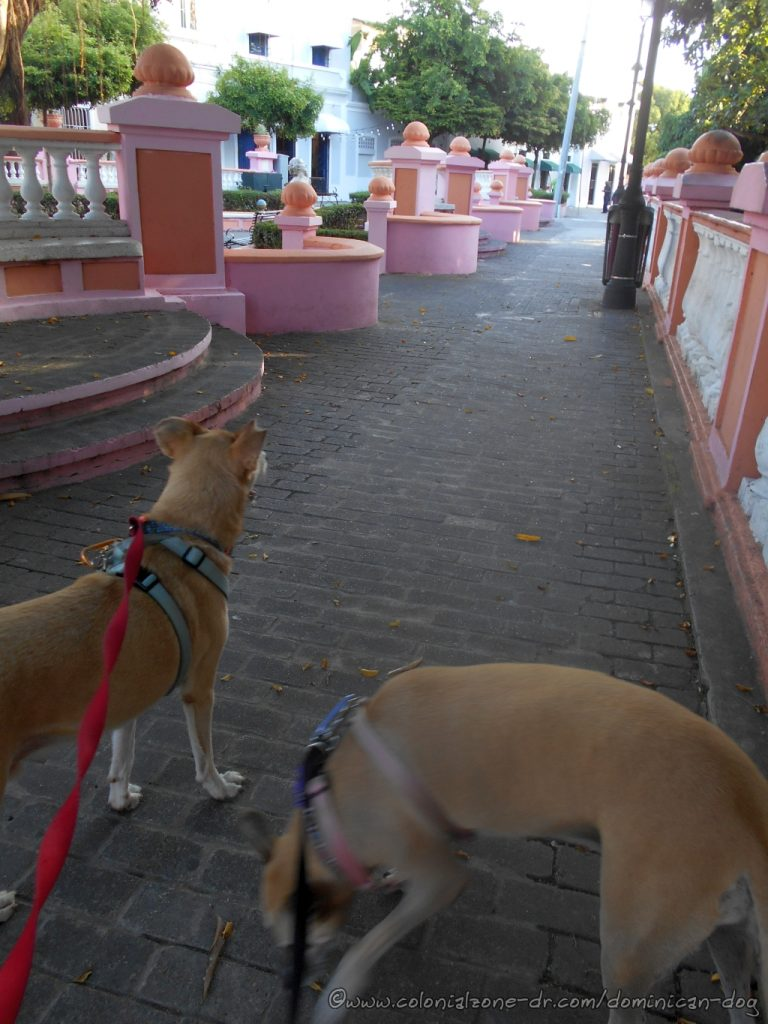 At Parque Rosado, Plaza Pellerano Castro. Inteliperra is sniffing to see who has been in her park and Buenagente is checking the area.