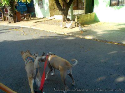 Inteliperra and Buenagente sniff friend Chihuahua. El Pensador, Los Mameyes, Santo Domingo Este.