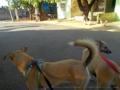 Inteliperra and Buenagente spot the ducks and friend Chihuahua. El Pensador, Los Mameyes, Santo Domingo Este.