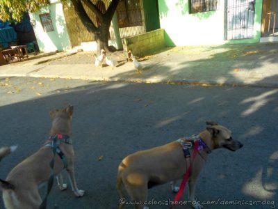 Inteliperra and Buenagente spot the ducks. El Pensador, Los Mameyes, Santo Domingo Este.