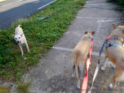 Street dog Juege, Inteliperra and Buenagente El Pensador, Los Mameyes, Santo Domingo Este.