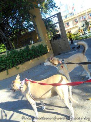 Inteliperra and Buenagente passing OMAMET on Ave. Jacinto de los Santos, Los Mameyes
