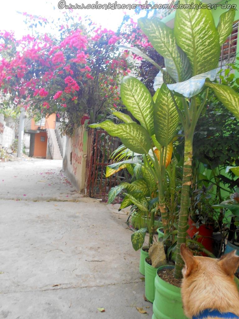 Buenagente walking down a Callejón/Alley in La Nueva, Villa Duarte