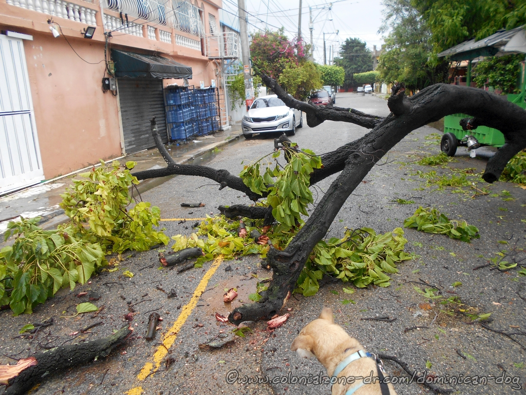 Buenagente checking out a tree downed during Tormenta Laura