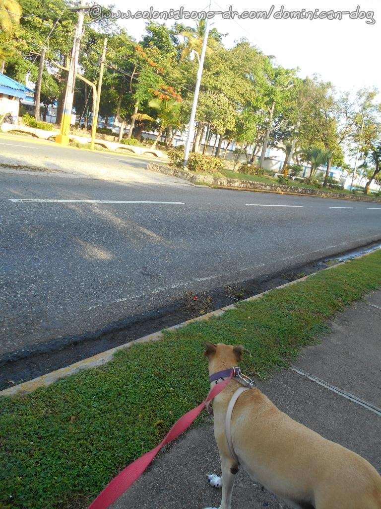 Inteliperra waiting to cross Avenida España at Parque San Souci heading home.