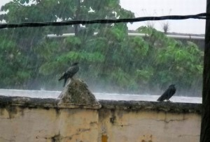 pigeons in colonial zone rain