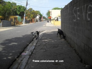 goats in palenque dominican republic