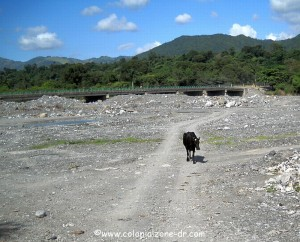 cow walking along the river bed