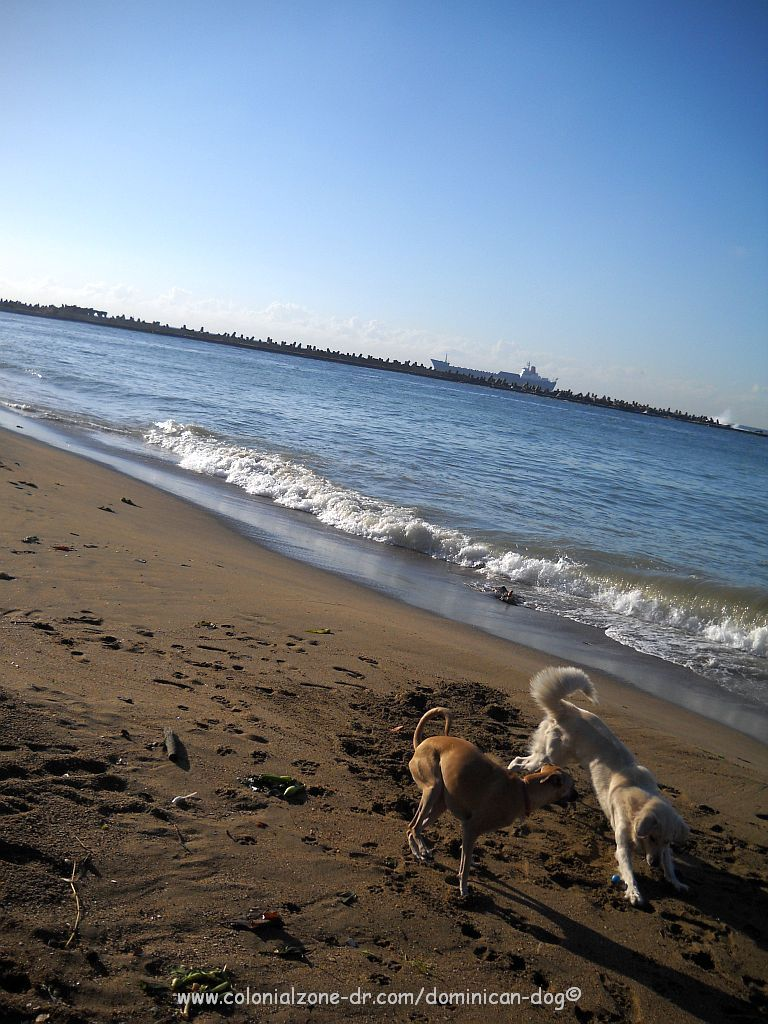 Teli and Blanco romping on the Montecinos Beach