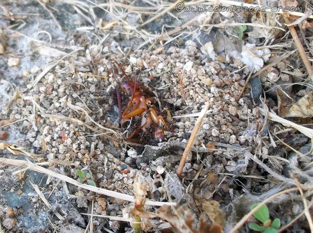 Ants enjoying their juicy breakfast of a big Cockroach.