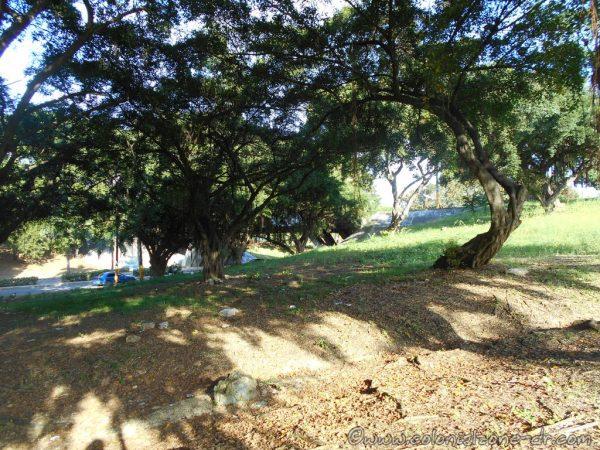 Trees at the clover Avenida 25 de Febrero that heads to the Puente Ramón Matías Mella.
