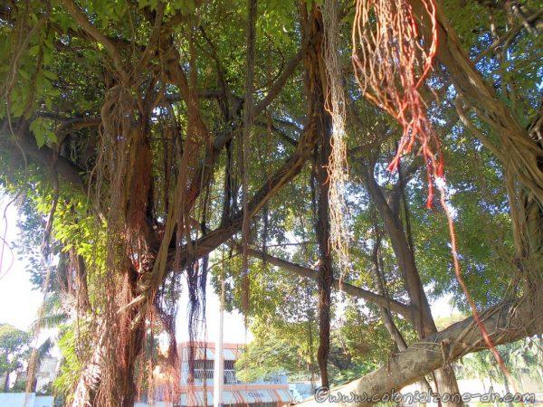 Trees at the clover Avenida 25 de Febrero that heads to the Puente Ramón Matías Mella