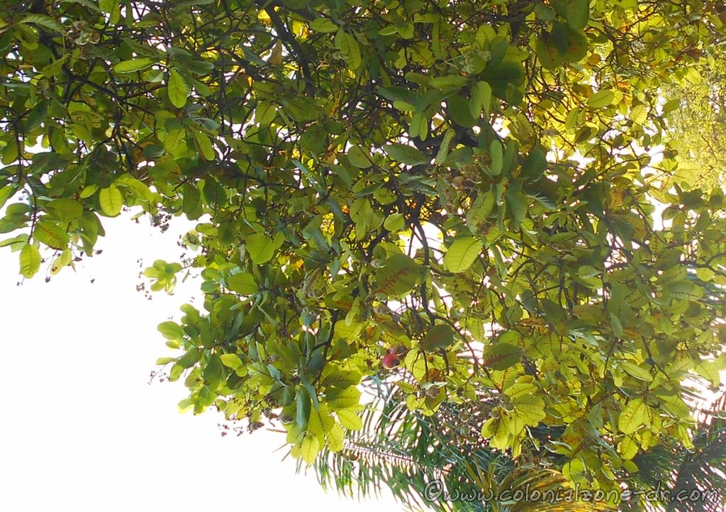 Árbol de Anacardo, The Cajuil Tree.