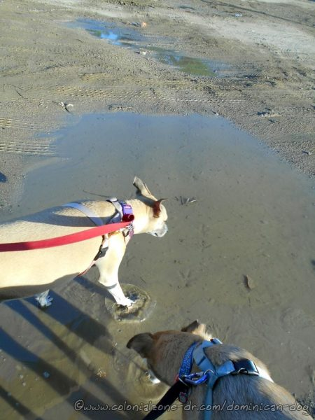 Buenagente and Inteliperra playing in a water puddle at Playita Montecino.
