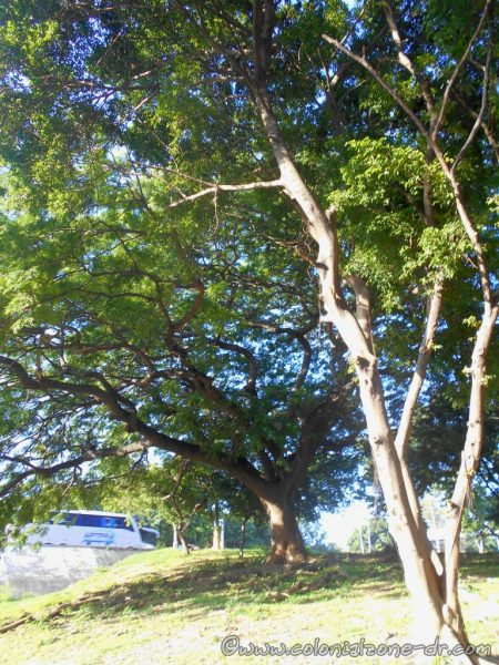 My favorite tree on Ave. España and Ave. 27 de Febrero, Santo Domingo Este.