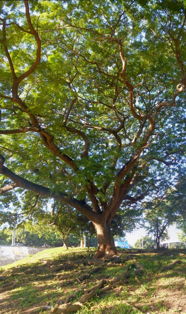 Panorama of my favorite tree on Ave. España and Ave. 27 de Febrero, Santo Domingo Este.