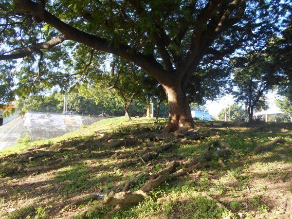 The gnarled roots of my  favorite tree on Ave. España and Ave. 27 de Febrero, Santo Domingo Este.