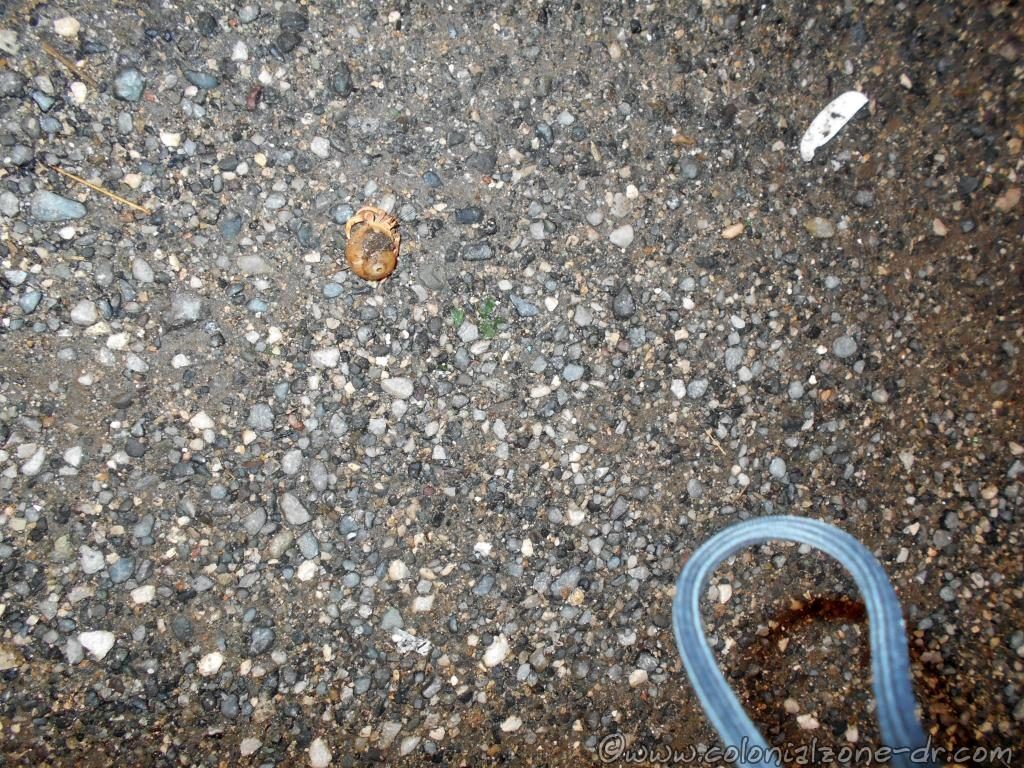 A Hermit Crab - Cangrejo Ermitaño - trying to cross the street.