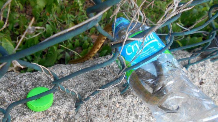 The small Boa de la Hispaniola also known in Dominican Republic as the Culebra Jabá set free from the water bottle.