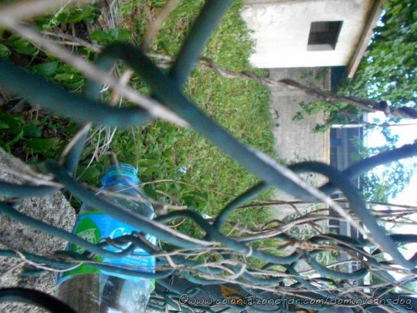 The small Boa de la Hispaniola also known in Dominican Republic as the Culebra Jabá stuck its head out of the bottle.