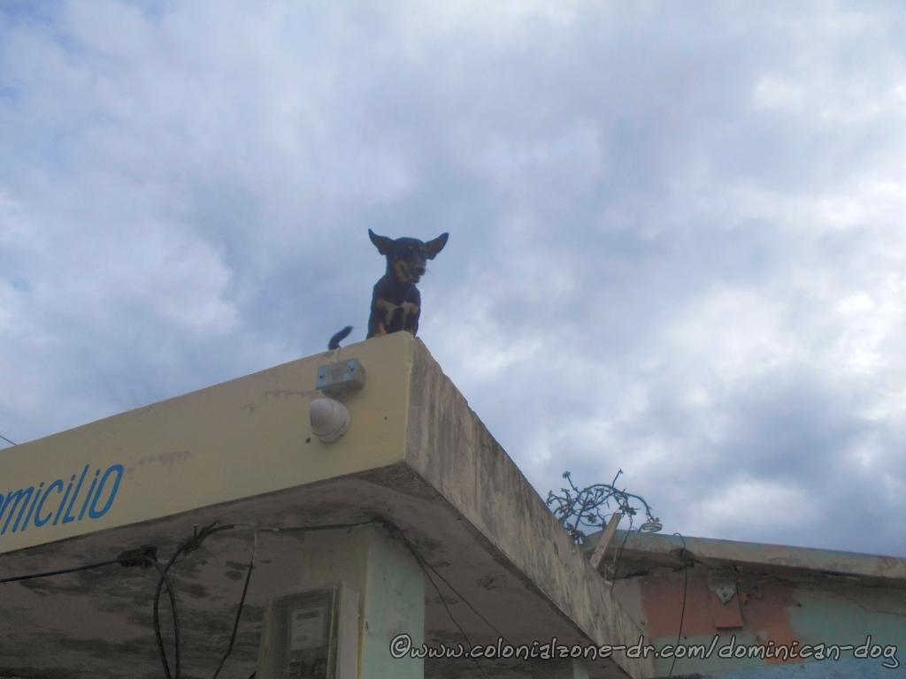 Roofy, the chihuahua, hears us coming and runs to the edge of the roof waiting for treaty.