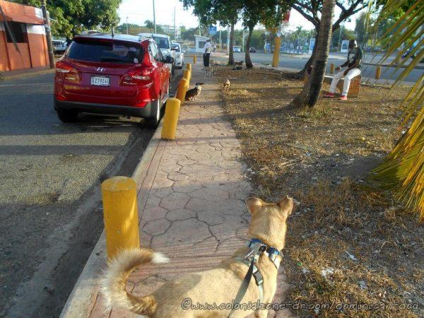 Neighborhood street dogs are in heat.
