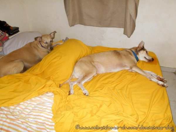 Buenagente and Inteliperra, The Dominican Dog Blog dogs, all comfortable in my bed.
