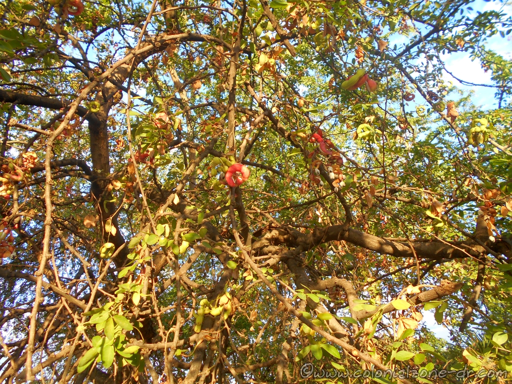 The red and green jina fruit high above